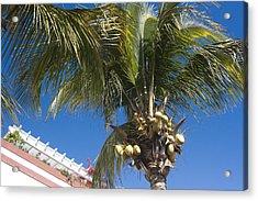 Coconut Tree Acrylic Print by Peter Lloyd