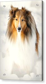 Collie  Acrylic Print by Diana Angstadt