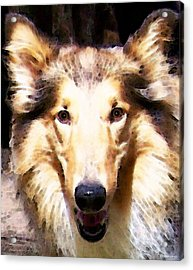Collie Dog Art - Sunshine Acrylic Print by Sharon Cummings