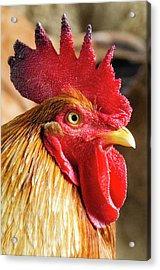 Colombia, Minca Domestic Rooster Acrylic Print by Matt Freedman