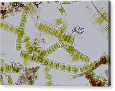 Colonial Freshwater Diatoms Acrylic Print by Science Photo Library