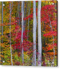 Colorful Fall Forest Acrylic Print by Scott Cameron