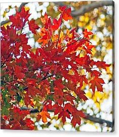 Colorful Maple Leaves Acrylic Print by Rona Black