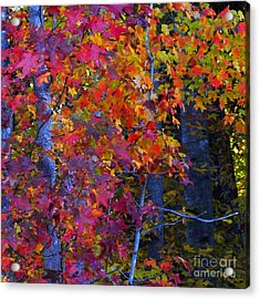 Colorful Maple Leaves Acrylic Print by Scott Cameron