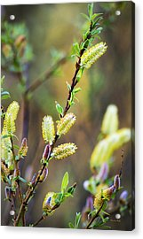 Colorful Spring Pussy Willows Acrylic Print by Christina Rollo