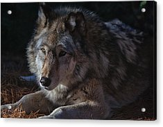 Colors Of A Wolf Acrylic Print by Karol Livote
