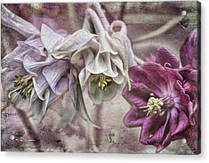 Columbine Beauty Acrylic Print by Jeff Swanson