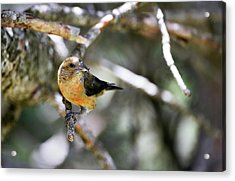 Common Crossbill Female Acrylic Print by Dr P. Marazzi