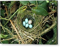 Common Cuckoo Cuculus Canorus Egg Laid Acrylic Print by Jean Hall