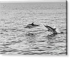 Common Dolphins Leaping. Acrylic Print by Jamie Pham