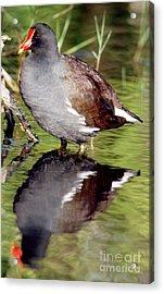 Common Moorhen Gallinula Chloropus Acrylic Print by Millard H. Sharp