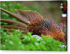 Common Pheasants Acrylic Print by Science Photo Library