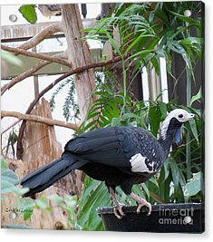 Common Piping Guan Acrylic Print by Lingfai Leung
