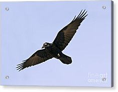 Common Raven Acrylic Print by Jim Zipp