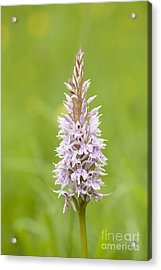 Common Spotted Acrylic Print by Anne Gilbert