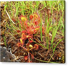 Common Sundew Acrylic Print by Cordelia Molloy
