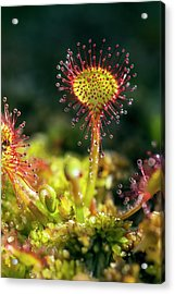 Common Sundew (drosera Rotundifolia) Acrylic Print by Alex Hyde