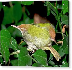 Common Tailorbirds Roosting Acrylic Print by K Jayaram