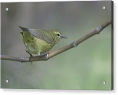 Common Yellowthroat Female Acrylic Print by Graham Foulkes