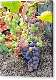 Concord Grapes Acrylic Print by Helene Guertin