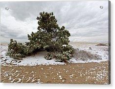 Conifer On A Snowy Cape Cod Beach Acrylic Print by Michelle Wiarda
