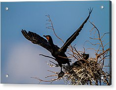 Cormorant Parent Flying Out Acrylic Print by Andres Leon