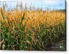 Corn Harvest Acrylic Print by Terri Gostola