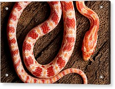 Acrylic Print featuring the photograph Corn Snake P. Guttatus On Tree Bark by David Kenny