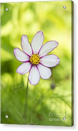 Aster Acrylic Print featuring the photograph Cosmos Candy Stripe by Tim Gainey