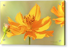 Acrylic Print featuring the photograph Cosmos Flowers by A Gurmankin
