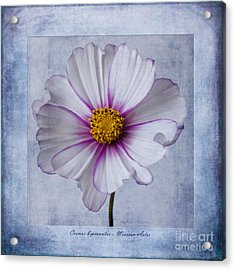 Aster Acrylic Print featuring the photograph Cosmos With Textures by John Edwards