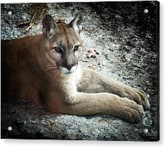 Cougar Country Acrylic Print by Karen Wiles