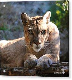 Cougar II Acrylic Print by DiDi Higginbotham