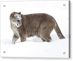 Cougar On A Winter Prowl Acrylic Print by Inspired Nature Photography Fine Art Photography