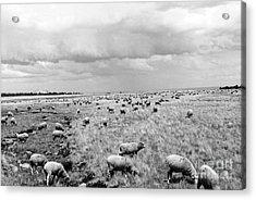 Counting Sheep  Acrylic Print by Juls Adams