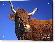 Cow Acrylic Print by Bernard Jaubert