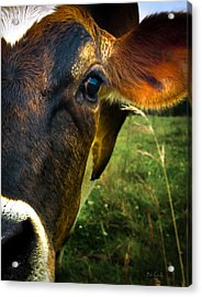 Cow Eating Grass Acrylic Print by Bob Orsillo