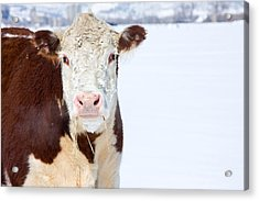 Cow - Fine Art Photography Print Acrylic Print by James BO  Insogna