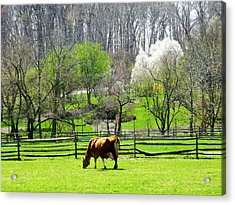 Cow Grazing In Pasture In Spring Acrylic Print by Susan Savad