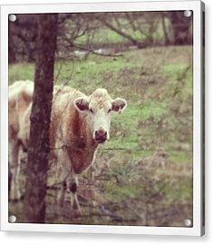 Cow Acrylic Print by Kristin Smith