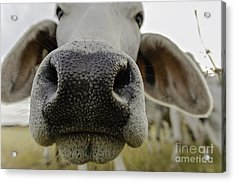 Cow Nose Acrylic Print by Cindy Bryant