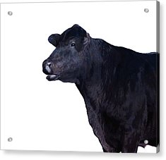 Cow On White Acrylic Print by Ann Powell