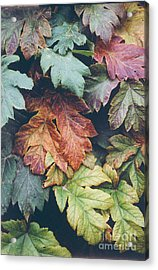 Cow Parsnip Leaves In The Fall Acrylic Print by Bruce M Herman