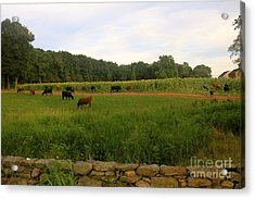 Cows At Buttonwood Acrylic Print by Dorothy Drobney