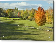 Cows Grazing On Maine Farm Field In Fall  Acrylic Print by Keith Webber Jr