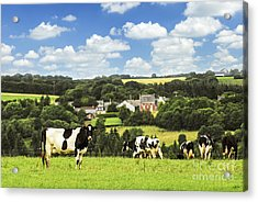 Cows In A Pasture In Brittany Acrylic Print by Elena Elisseeva