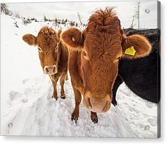 Cows In Winter Acrylic Print by Ashley Cooper