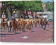 Cowtown Cattle Drive Acrylic Print by David and Carol Kelly