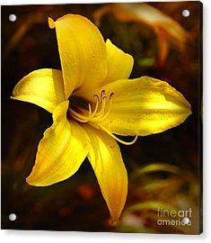 Cozy Yellow Daylily Acrylic Print by Carol Groenen