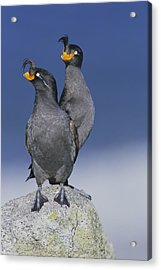Crested Auklet Pair Acrylic Print by Toshiji Fukuda